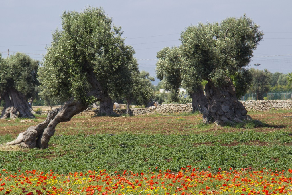 Wild flowers and olive trees of Puglia in Italy